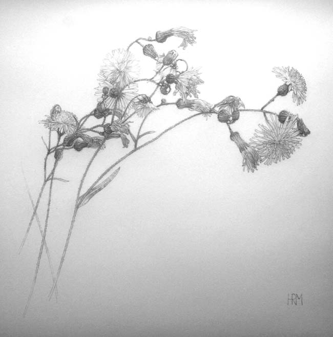 sow thistle study